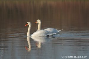 mooie foto van 2 witte zwanen