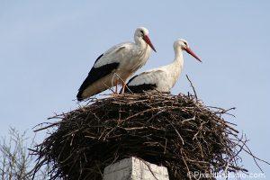 foto van 2 ooievaars op hun nest