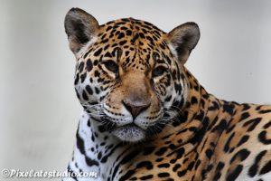 Mooie foto van een tijger