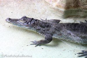 foto van een krokodil