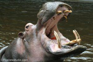 Foto van een nijlpaard