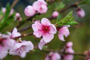 foto van een perzik bloesem