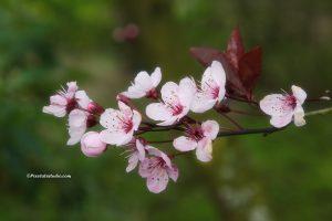 mooie foto van een prunus bloesem, Prunus cerasifera 'nigra', boom