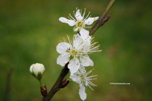 foto van een pruimen bloesem