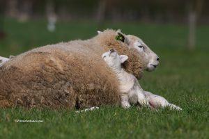 Lammetje ligt lekker bij zijn moeder tegen haar warme vacht