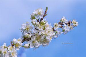 mooie lente foto van een Pruimen bloesem