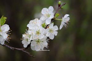 Mooie lente foto van een prunus in bloei
