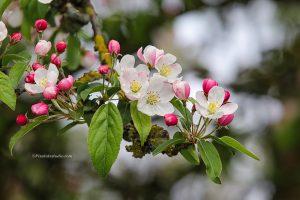 Bloesem foto van boom in bloei