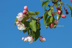 Bloesem van boom , met blauwe lucht