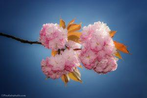 lente foto van roze bloesem