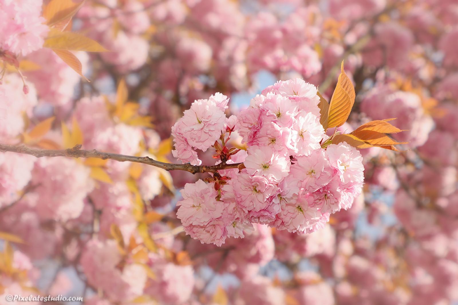 mooie Bloesem foto van roze bloesem in het voorjaar