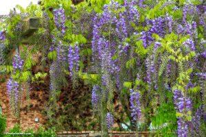 mooie lente foto van paarse regen