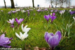 foto van veld krokussen in bloei