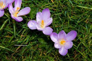 Krokussen in bloei