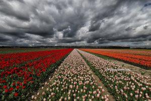 Tulpen foto in de lente gemaakt
