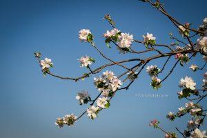Bloemen, bloesem van boom gefotografeerd tegen blauwe lucht