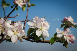 Mooie lente foto van bloeiende appelboom , bloesem, close up foto