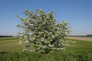 lente foto van wilde appelboom in bloei, met mooie witte bloesem