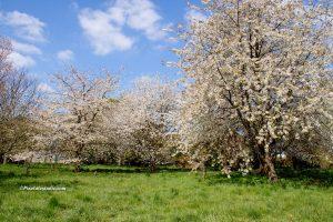Bomen met mooie witte bloesem