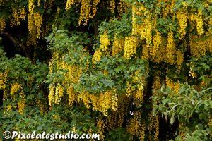 Mooie voorjaarsfoto, gouden regen in bloei , met schitterende bloemen