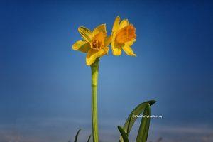 Mooie foto van Narcissen, lente foto