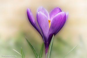 mooi bewerkte foto van een paarse krokus