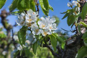 Appelbloesem in Boomgaard