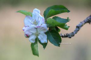 Mooie foto van een appelbloesem met mooie vage achtergrond