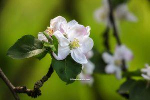 Mooie lentefoto van wilde appelbloesem met mooi licht