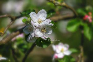 foto van wilde appelbloesem